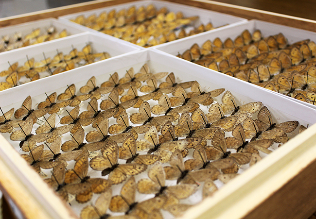 Arctic (Oeneis) butterflies at the Museum of Biological Diversity