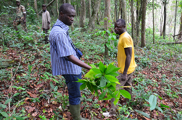Sery Gonedele Bi investigates a cocoa plant on the Ivory Coast