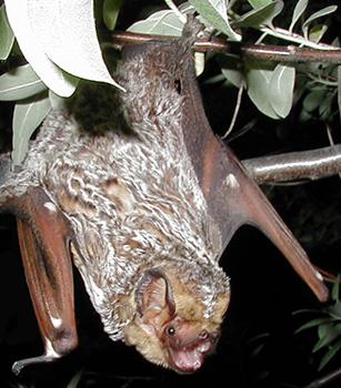 A Hoary Bat