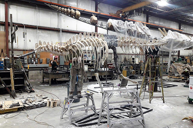 The casting process of the dinosaur now at Orton Geological Museum