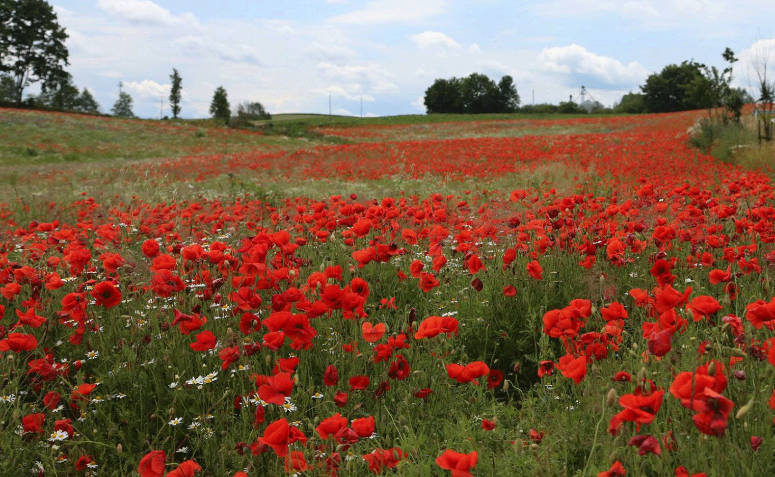 A field of red Polish poppies