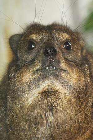 Hyrax teeth