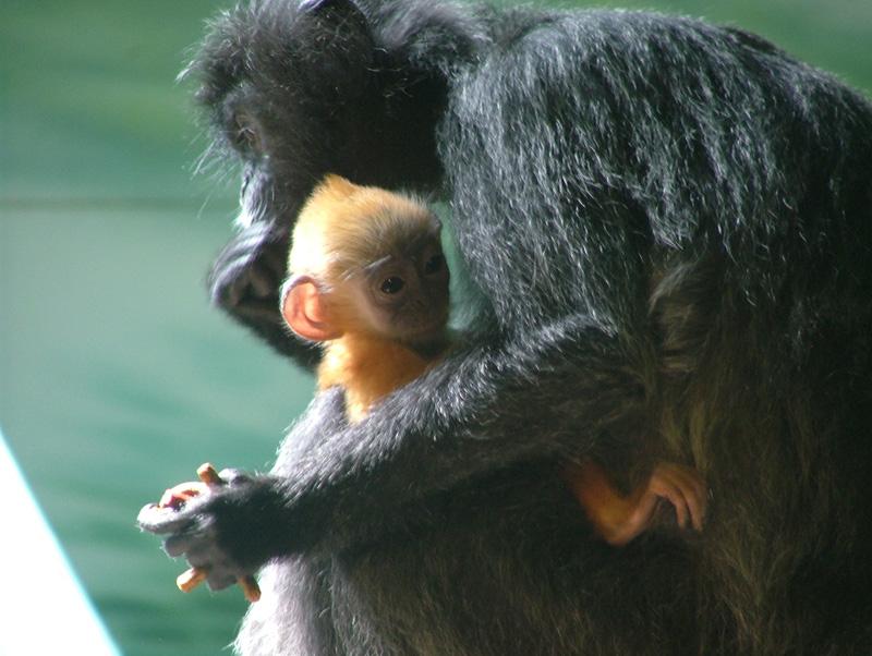 Two primates under Eakins study.