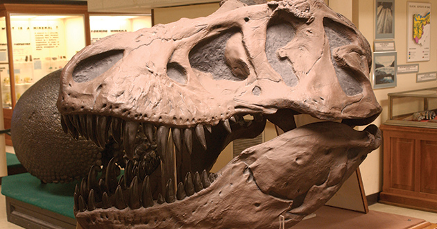 A replica of a Tyrannosaurus rex skull.