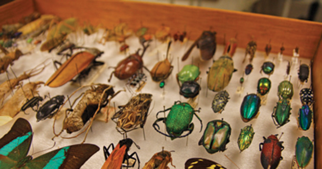 Insect drawer at the Museum of Biological Diversity.