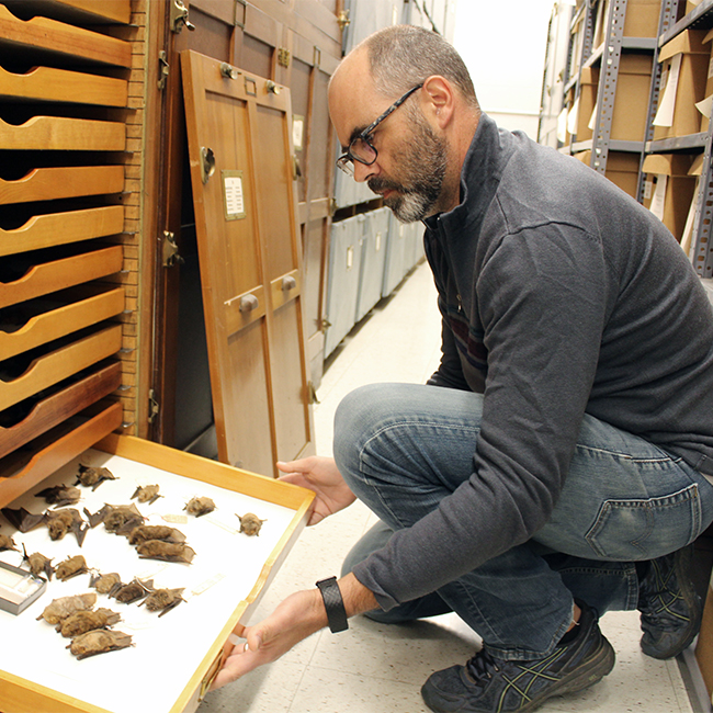 EEOB professor Bryan Carstens examines some of the thousands of bat specimens housed by the Museum of Biological Diversity at Ohio State.