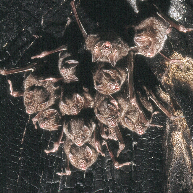 A colony of common vampire bats (Desmodus rotundus). These are small, leaf-nosed bats native to the Americas.