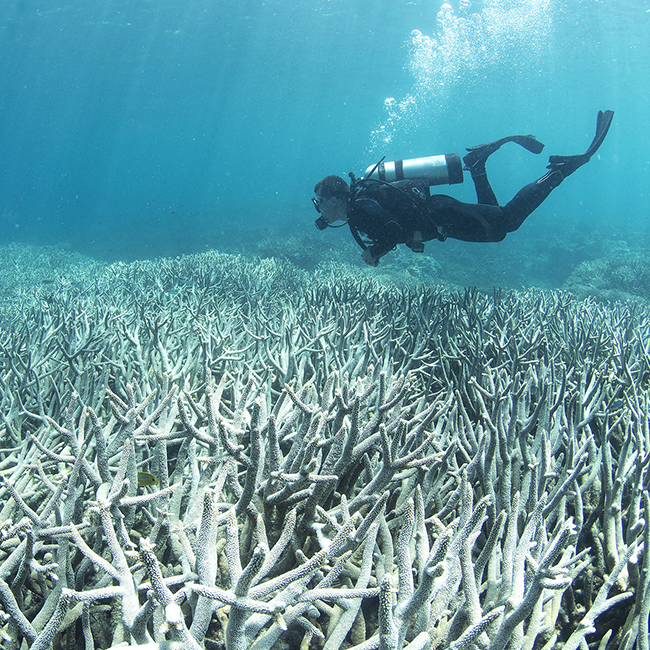 A diver observes coral bleaching off the coast of Australia. Photo credit: The Ocean Agency