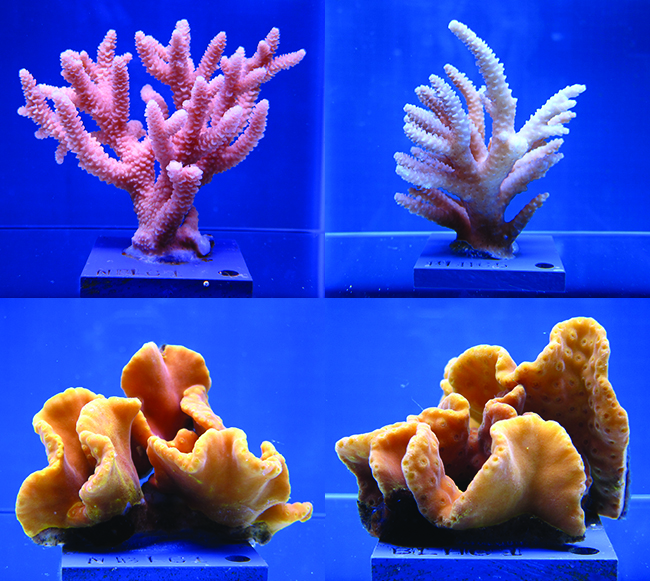 Top and bottom left: Healthy Staghorn coral and yellow scroll coral. Top and bottom right: Staghorn and yellow scroll coral after exposure to higher temperatures and acidification.