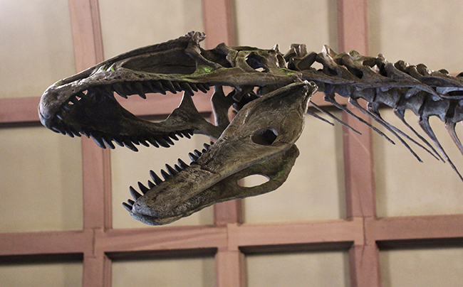 A dinosaur skeleton of Cryolophosaurus ellioti, found by and named after an Ohio State professor, is now at Orton Geological Museum.