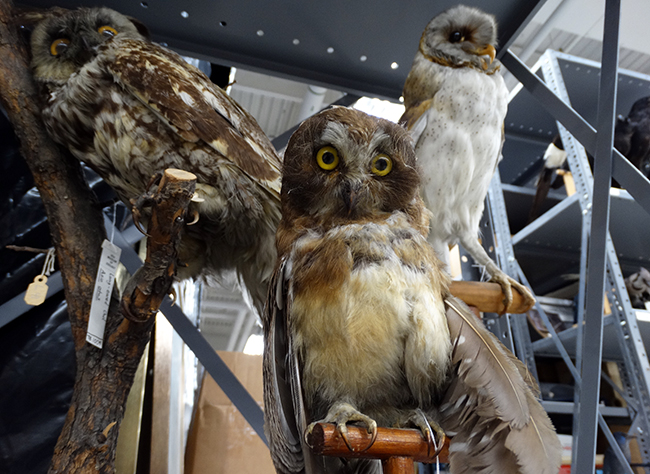 Owls at the Museum of Biological Diversity