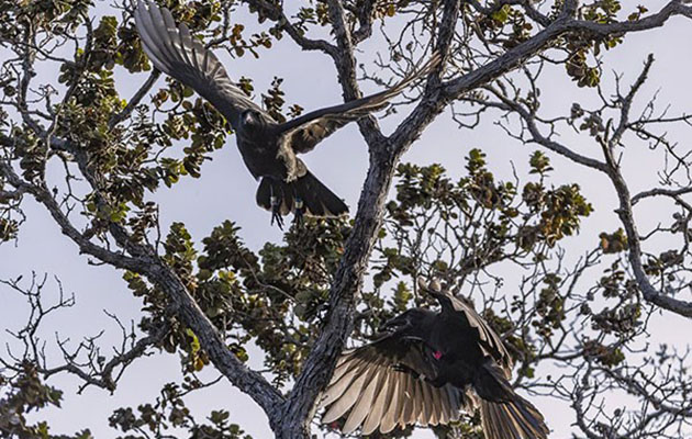 Two 'alalā (Hawaiian crows) reintroduced by the San Diego Zoo team. Photo courtesy of San Diego Zoo Global.