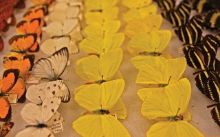 Butterflies at the Museum of Biological Diversity.
