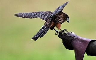 photo of falcon from pixabay